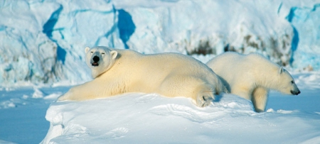 Polar-bears-Svalbard-Norway-740