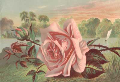 victorian_pink-rose