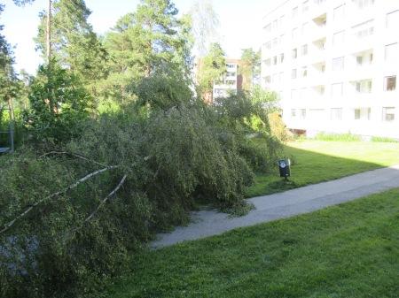 Omkullblåst träd 003